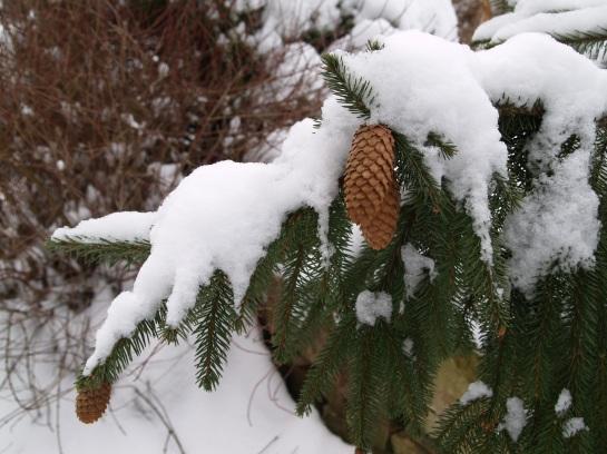 Acrocona dwarf Norway spruce