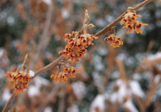 Vernal witch hazel in early January