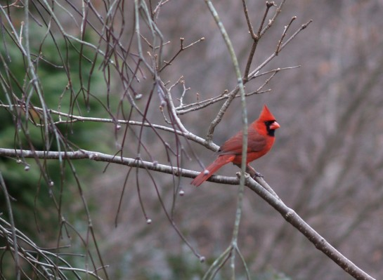 A cardinal perches on a branch of a weeping dogwood