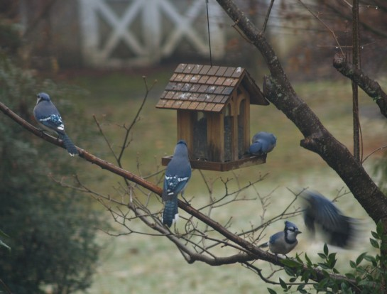 Bluejays vie for position on the feeder