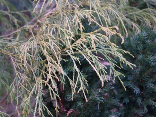 Gold threadbranch cypress