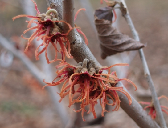 Jelena witch hazel flowering in mid March