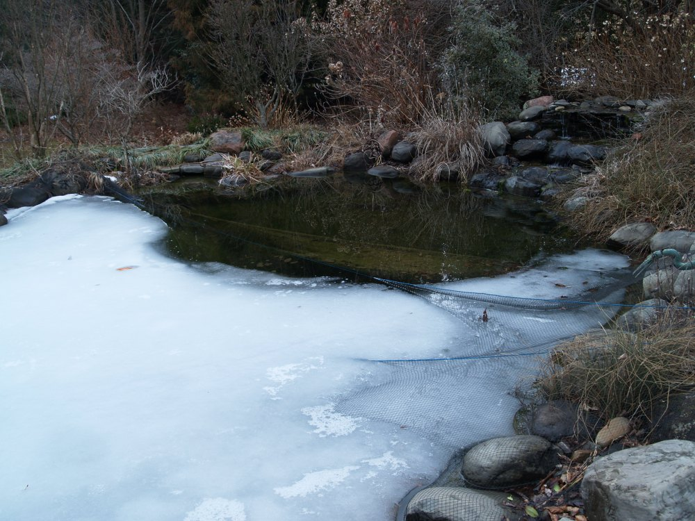 Ice is finally melting on the koi pond in mid March