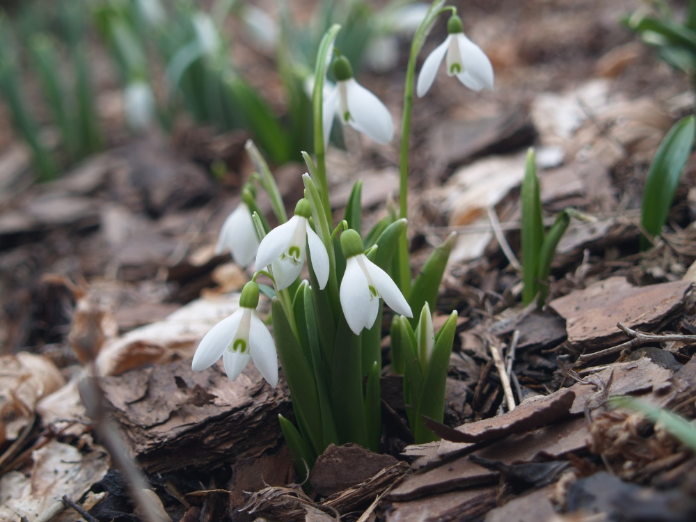 Snowdrops flowering in mid March