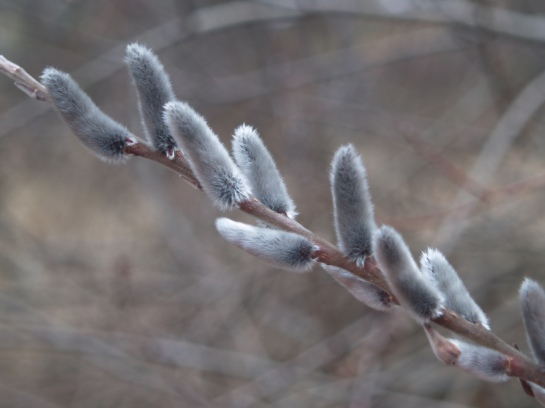 Pussy willow catkins in mid March