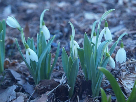 Snowdrops in mid March