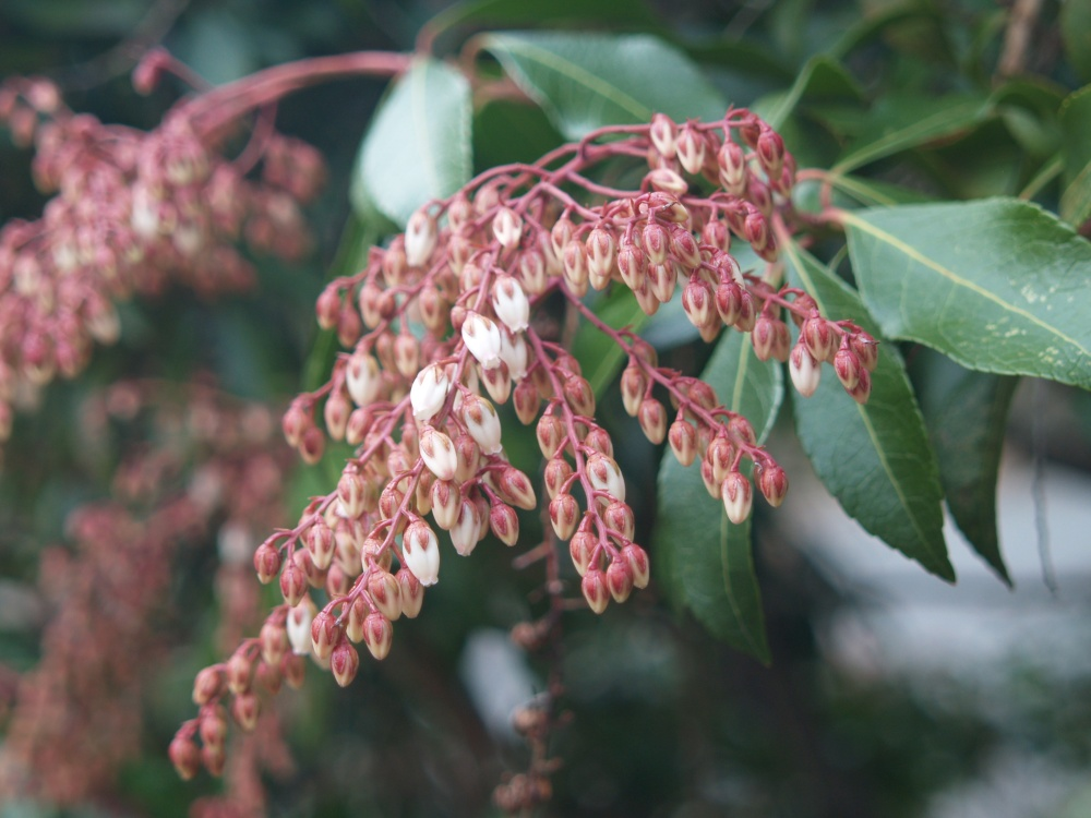 Dorothy Wycoff pieris flowering in late March
