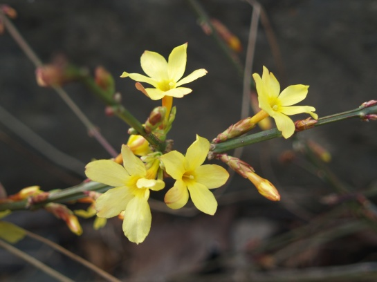 Winter jasmine flowering in late March