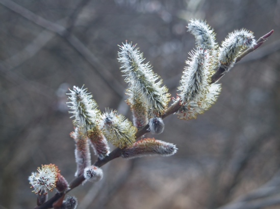 Pussywillow flowering in late March