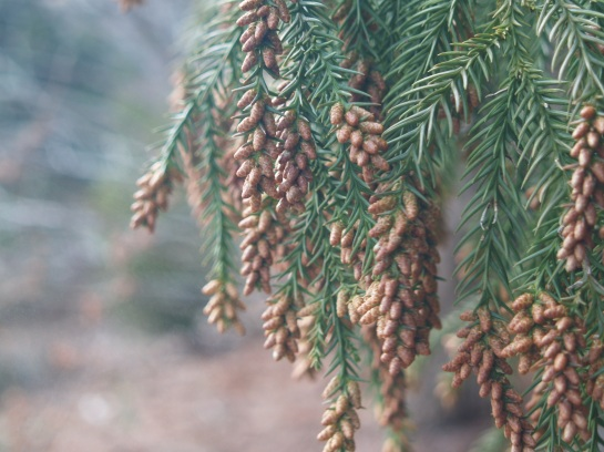 A brown cloud erupts from cones of Japanese cedar in late March