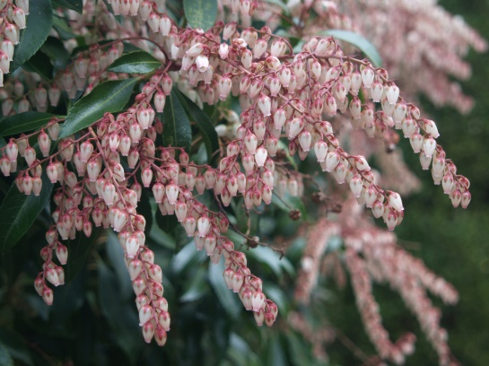 Dorothy Wycoff is the most vigorous pieris in the garden. It is planted at the intersection of the driveway and path to the rear garden so that bees must be avoided in early spring.