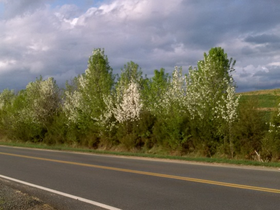 Hundreds of Callery pears seedlings line this fence row in rural northern Virginia.