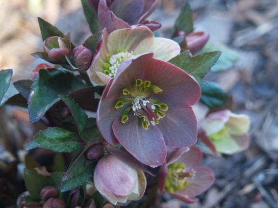 An exceptional hellebore, but unfortunately its name has been forgotten