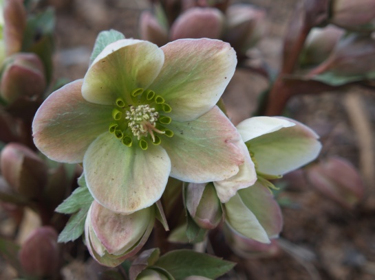 Ivory Prince hellebore in early April
