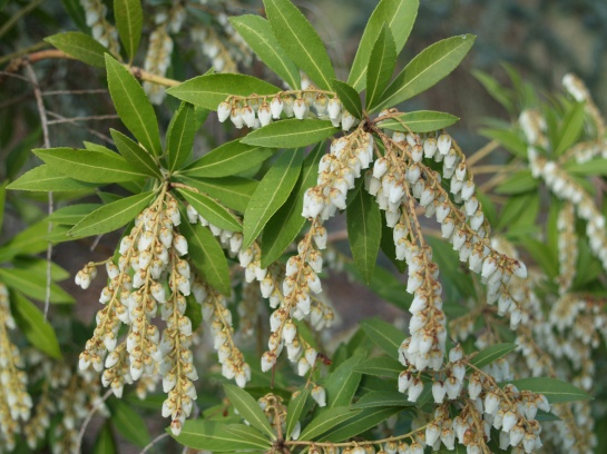 Snowdrift pieris is exceptional in bloom, ordinary after flowering
