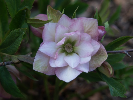 An unidentified, but marvelous hellebore in early April