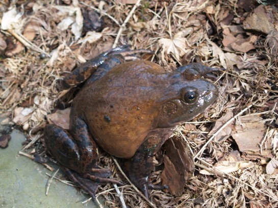We've seen this large bullfrog occasionally at the edge of the front pond, and he never seems excited to see us.