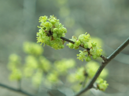 Small flowers of spicebush in early April