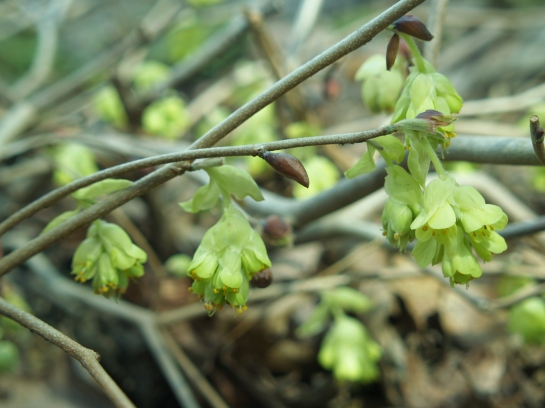 Ogon winter hazel (Corylopsis spicata 'Ogon')  flowering in early April