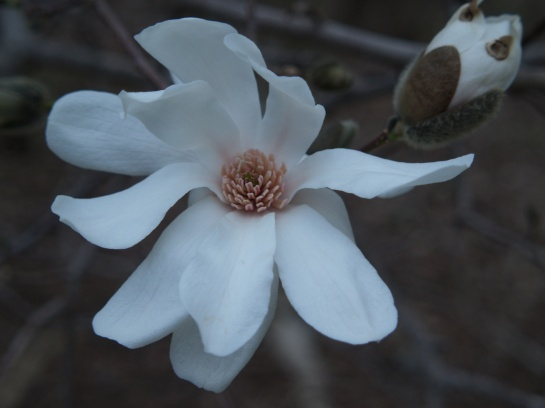 Dr. Merrill has fewer and wider petals than Royal Star, but they flower about the same time in late winter/ early spring.