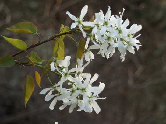 Serviceberry blooms along the wood's edge in my garden.