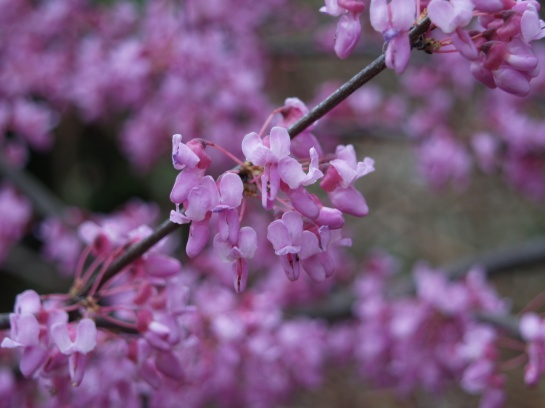 Redbud flowering in late April