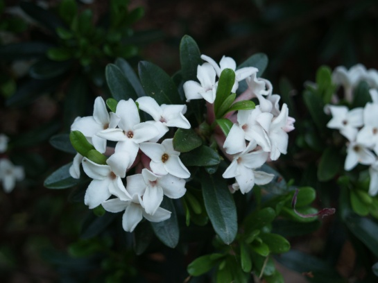 Eternal Fragrance is in full bloom. It will flower sporadically through November.