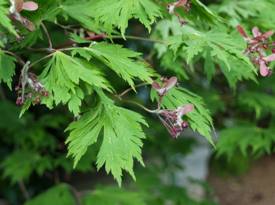 The Fernleaf Japanese maple has larger leaves than typical. Aututumn foliage color is unsurpassed.