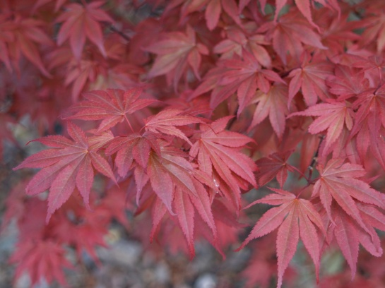 Skeeter's Broom is a witches broom of Bloodgood maple. It retains  its red color through the summer better than many other maples.