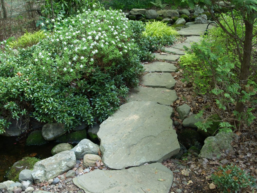 The stream orients just below the large stone slab that begins the path. Sweetbox has spread to fill this area, and as slow as it is to get started, now I must prune it to keep it from between stones and so it does not overwhelm Japanese Forest grass and Carol Mackie daphne.