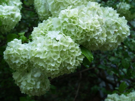 The Chinese Snowball viburnum has grown huge next to the library window to block whatever little light might enter from this shaded part of the garden. My wife persists in demanding that it be cut to a more appropriate size, but each year she becomes less forceful.