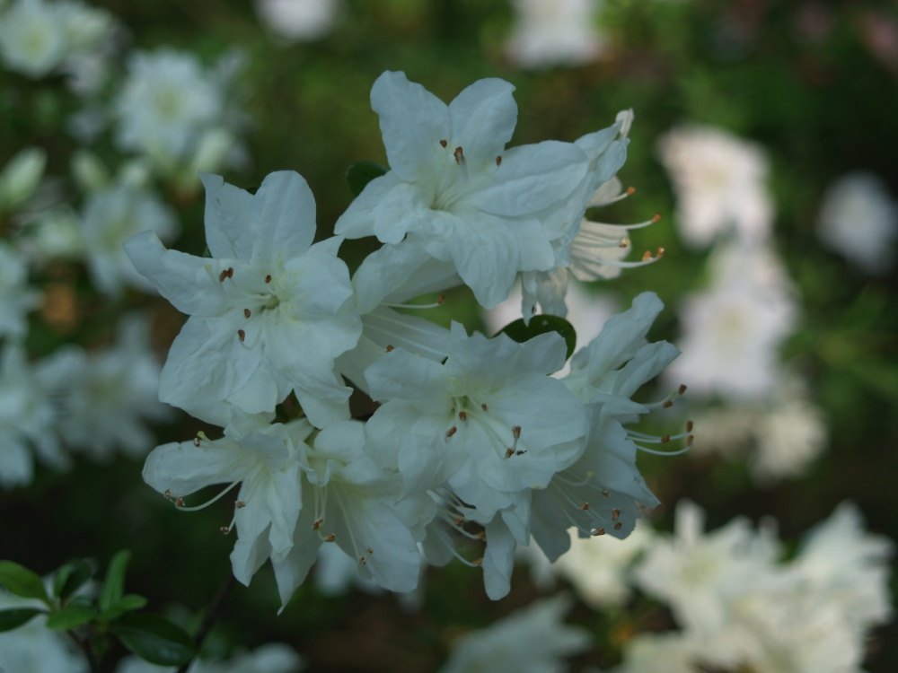 Delaware Valley White azaleas flowers early in May this year. Typically, it is a week earlier in late April.