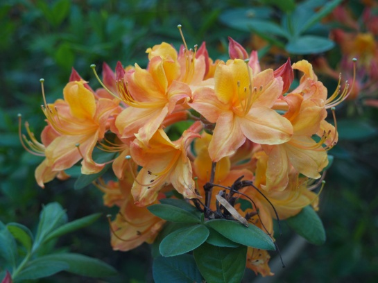 Another of the Exbury azaleas