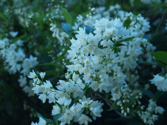Nikko deutzia is a low growing deciduous shrub that is not much to look at until late April, but it is quite magnificent through mid spring.