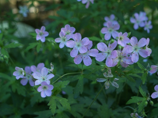 Seedlings of Espresso geranium have similar blooms, but the foliage ranges from burgundy to nearly green. The seedlings are abundant, but they are easily controlled and they often pop up in unexpected places that work for the best.