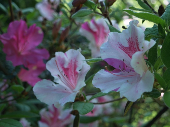 Encore Twist azalea displays flowers in a variety of patterns of color.