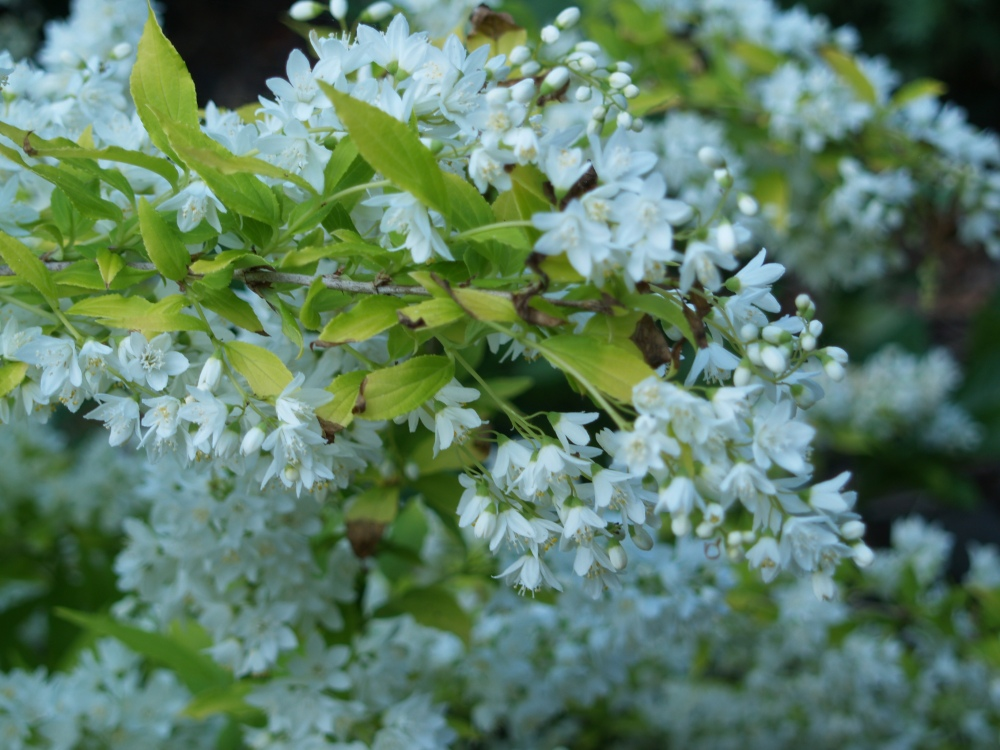 Chardonnay Pearls deutzia is a mass of white blooms in early May, then it displays chartreuse foliage into early summer.