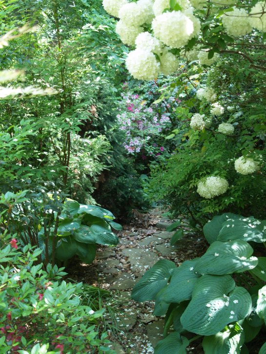 The stone path beside the house is barely passable with hostas, nandinas, azaleas, mahonias, and viburnum in the way.