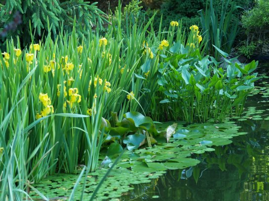 Sweetflag, yellowflag, water lilies, and pickerelweed along the pond's edge