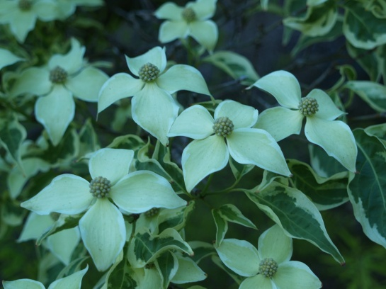 Wolf Eyes dogwood flowers heavily in full sun