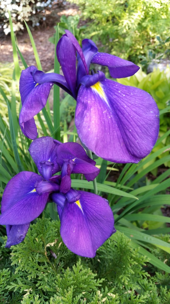 The Japanese iris that grows in dry ground beside the cypress has similar flowers to the variegated iris, but the foliage is much taller.