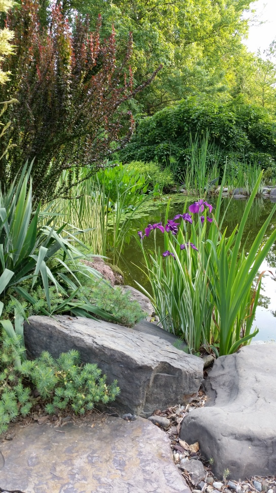 The variegated iris grows in shallow water at the pond's edge. This clump has been invaded by yellow flag iris (the green foliage).