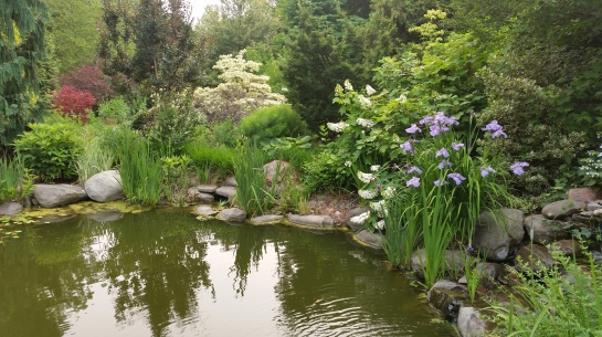 Japanese irises grow in clumps between stones surrounding much of the koi pond.