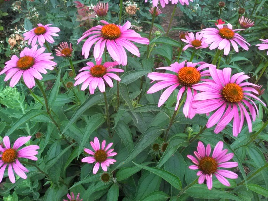 Echinacea 'Magnus' is a sturdy and dependable performer, but it needs sun, so it finally faded in this garden.