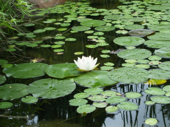 Waterlilies, yellow flag iris, and sweetflag grow in the koi pond's bog filter