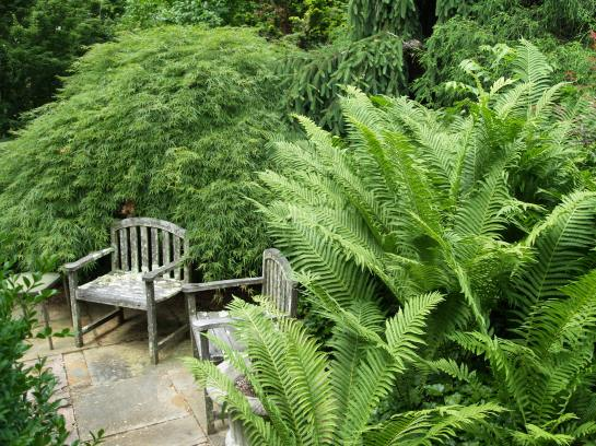 The 'Viridis' Japanese maple encroaches further into this small patio each year. On the near side a dwarf spruce encroaches even further.