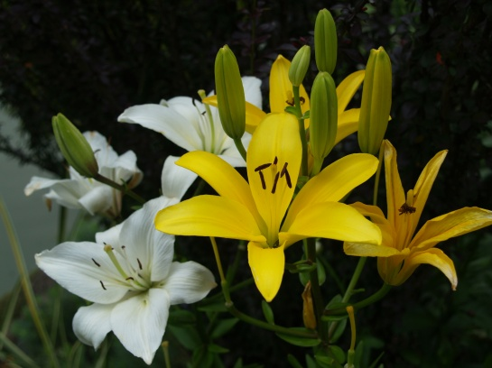 Asiatic lilies flower in late June, then stems are hidden by daisies that bloom through mid summer.