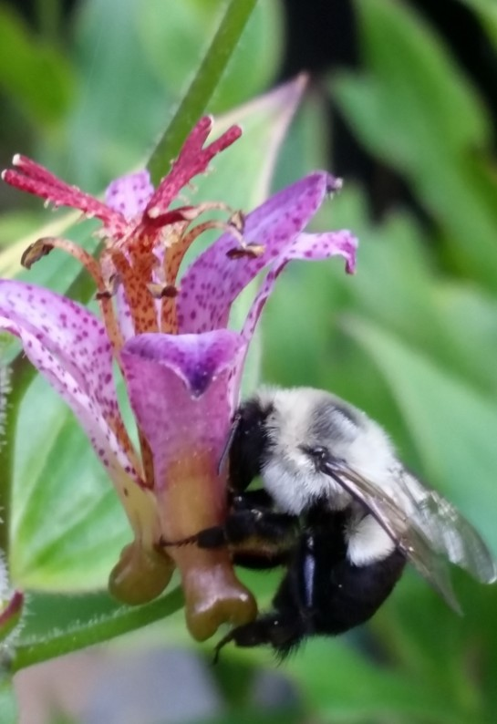 Too large to to fit beneath anthers of the the toad lily's flower, bumblebees circle the bloom, piercing through the petals