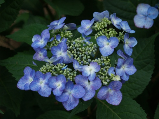 Lacecap hydrangea tolerate more sun than mopheads.