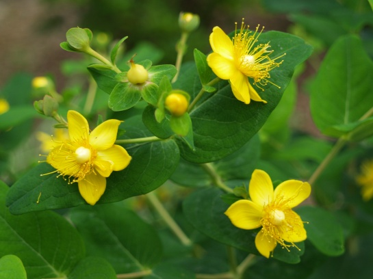Pumpkin hypericum has died to the ground in recent winters, but it grows vigorously and flowers in early summer. The colored fruits that follow are distinctive.